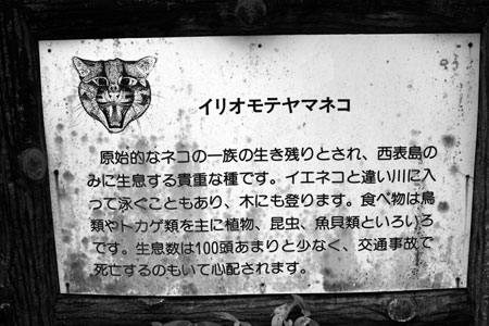About the Iriomote Mountain Cat