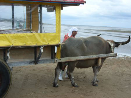 The water buffalo cart